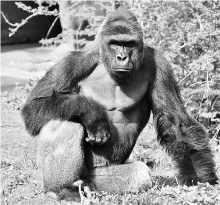 Internet Funny: How the Tragic Death of Harambe Became Something Much More